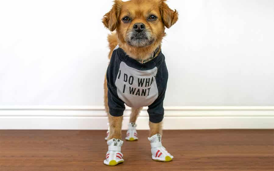 Dog in Running Shoes