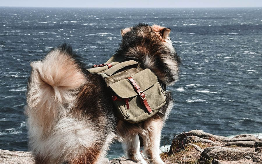 Dog with a Backpack for Hiking and Camping